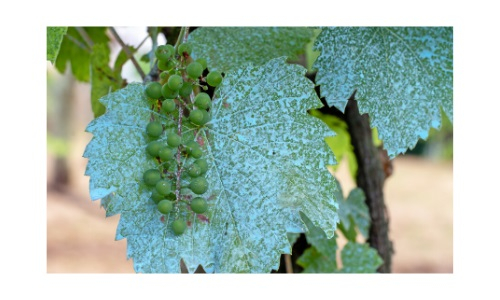 Copper sulphate may still be used on biodynamic grapes by Wines With Attitude