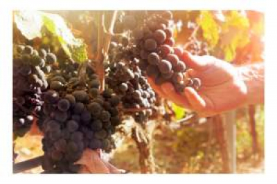 Grapes in the vineyard by Wines With Attitude.jpg