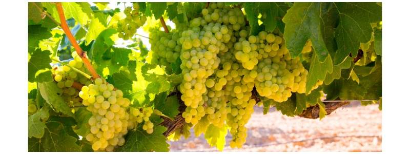 Guide to the Chardonnay grape and Chardonnay wines